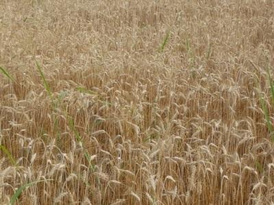 campo di frumento (2)